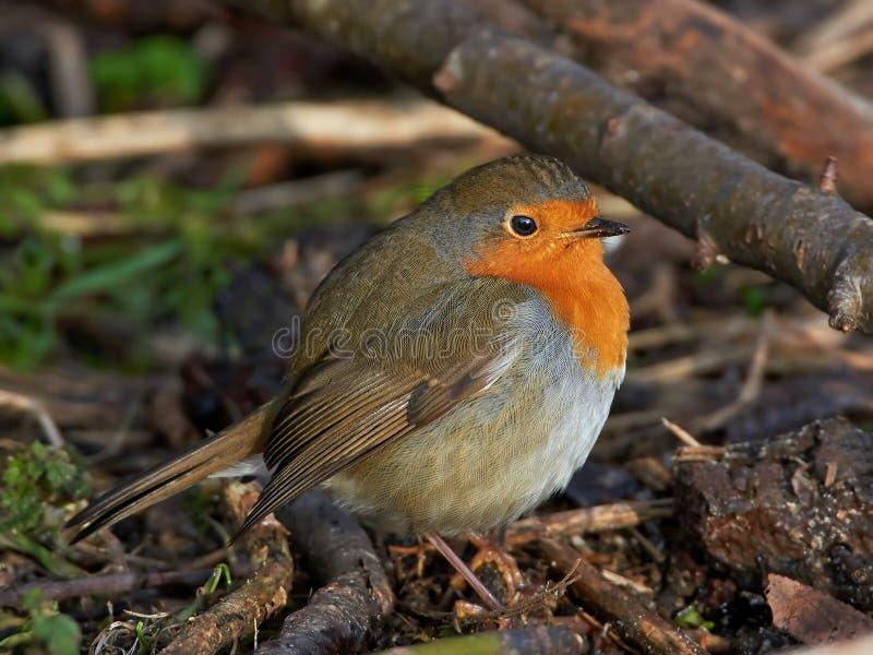 Europese Robin (rubecula Erithacus) royalty-vrije stock foto's