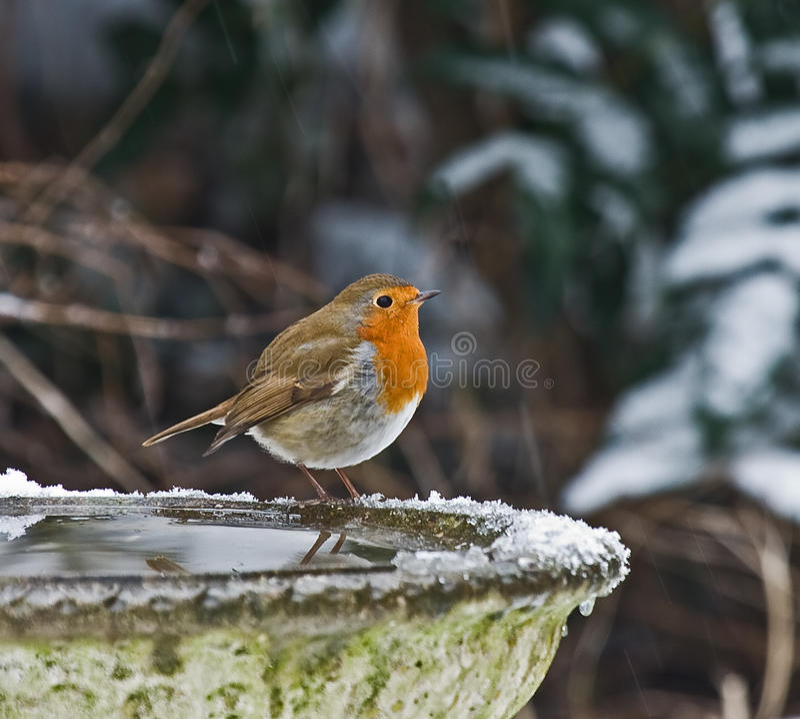Europese Robin in sneeuw