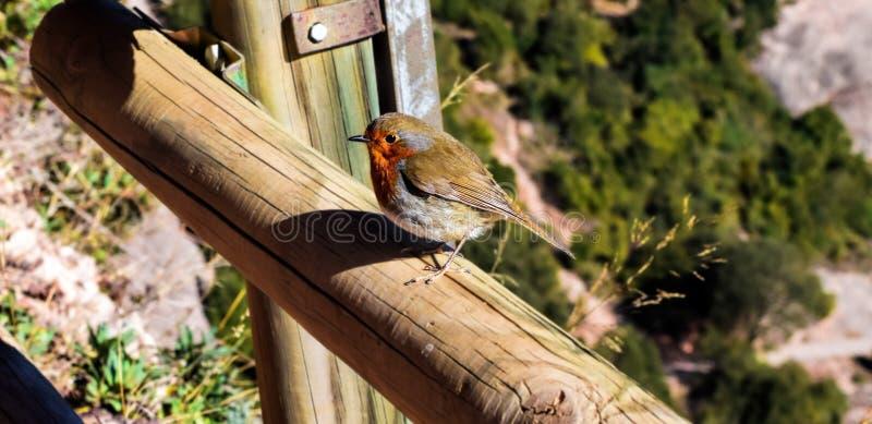 Europese Robin streek op een omheiningspost neer Erithacusrubecula royalty-vrije stock foto's