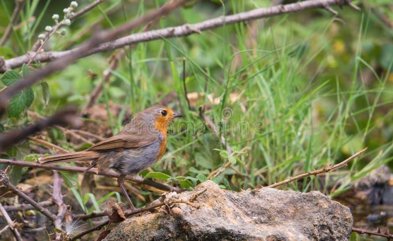Europese Robin ter plaatse royalty-vrije stock afbeelding