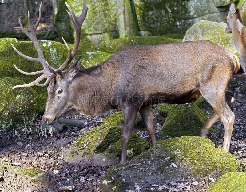 Europese rode herten royalty-vrije stock afbeelding
