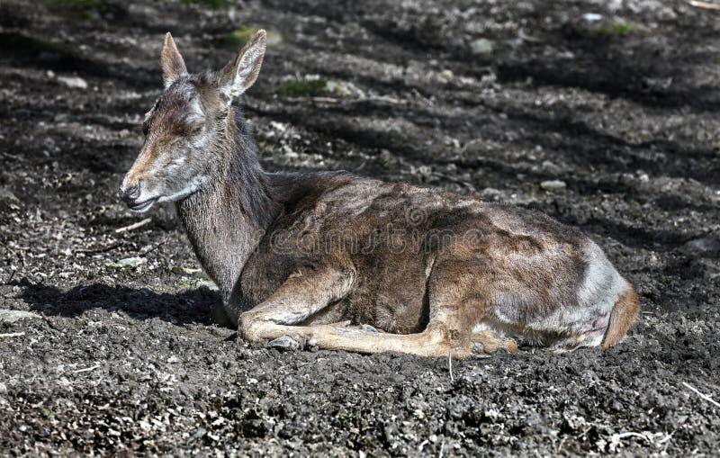 Europese rode herten 11 stock fotografie