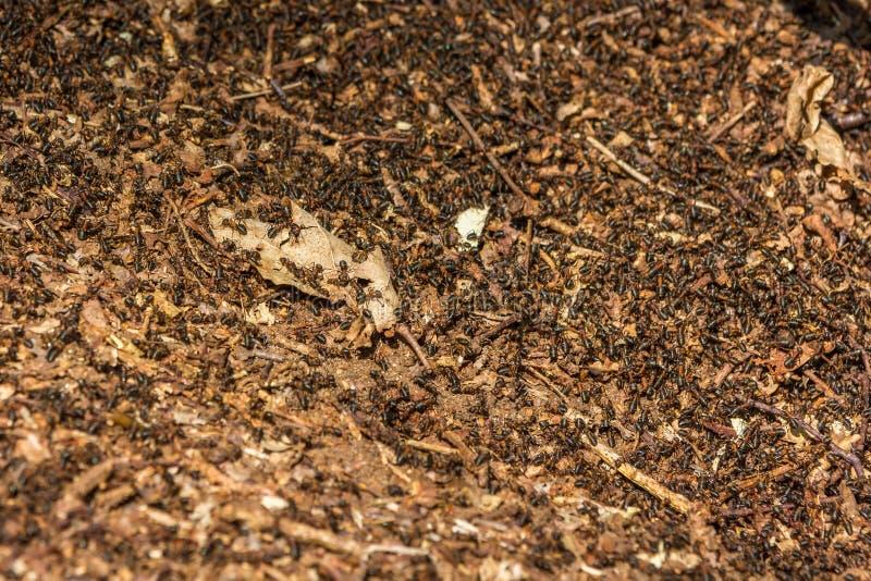 Europese rode mieren die over bosvloer zwermen royalty-vrije stock afbeelding