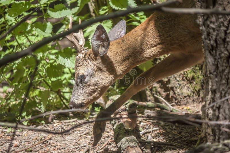 Europese Roe Deer Capreolus-capreolus stock afbeelding