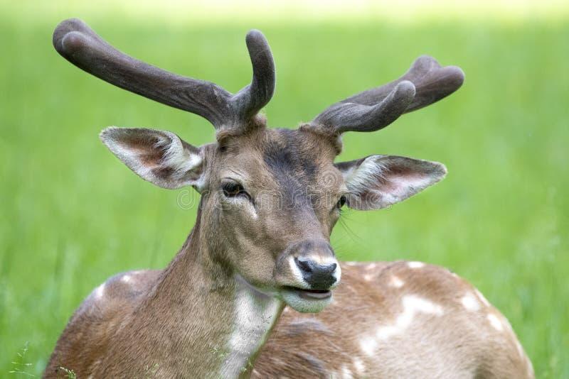 Europese Roe Deer Capreolus-capreolus stock afbeeldingen