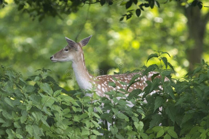 Europese Roe Deer Capreolus-capreolus stock fotografie