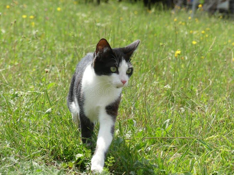 Europese shorthairkat zwart-wit in aard stock fotografie