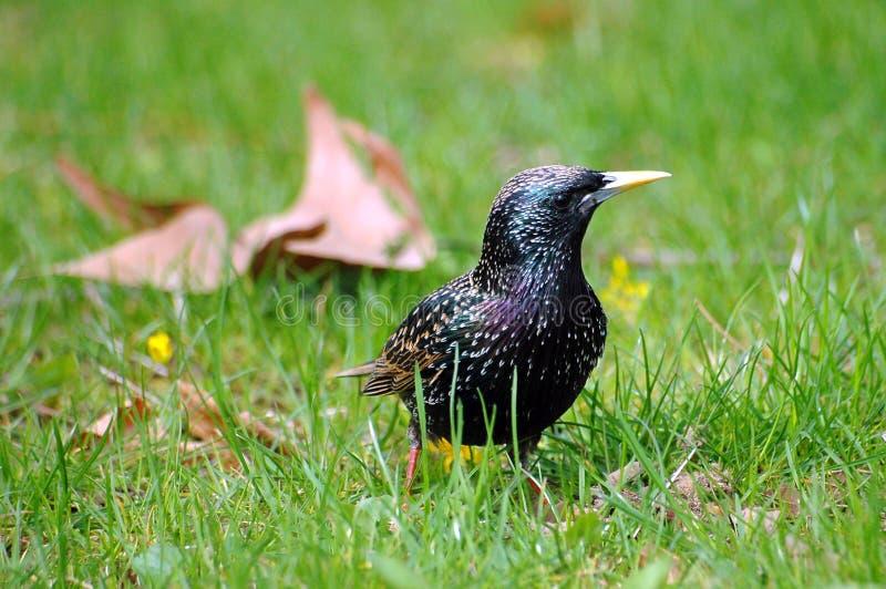 Europese Starling in gras stock foto