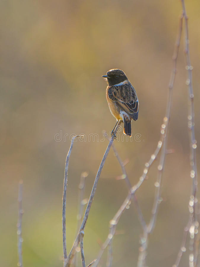 Europese Stonechat in backlight royalty-vrije stock afbeelding