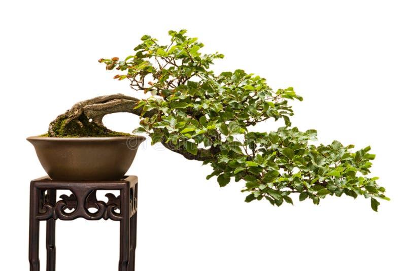 Europese sylvatica van beukfagus als bonsaiboom royalty-vrije stock foto