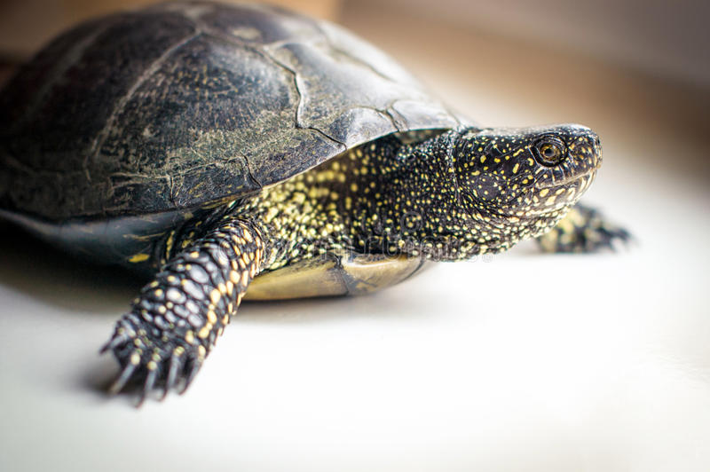 Europese vijverschildpad stock afbeelding