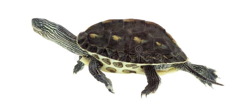 Europese vijverschildpad, Emys-orbicularis, het zwemmen royalty-vrije stock foto