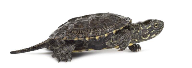 Europese vijverschildpad, Emys-orbicularis, voor stock fotografie