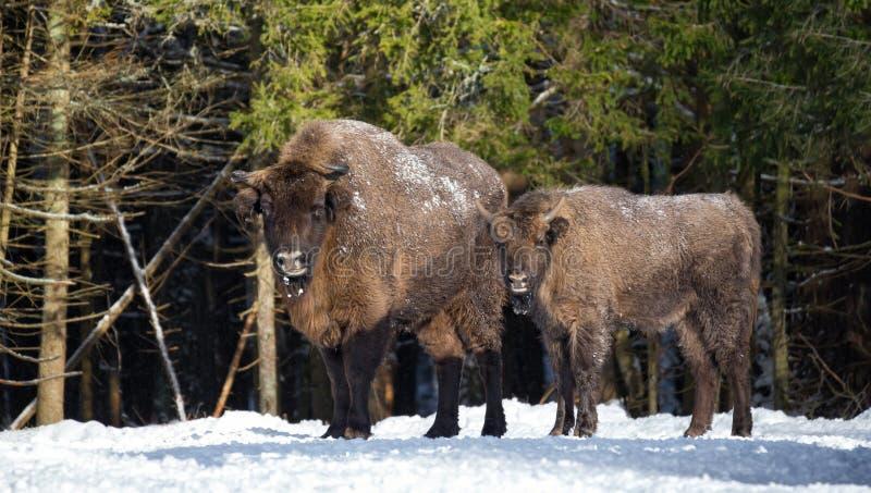 Europese wilde bruine bizon twee: volwassene en jongelui De familie van bi stock fotografie