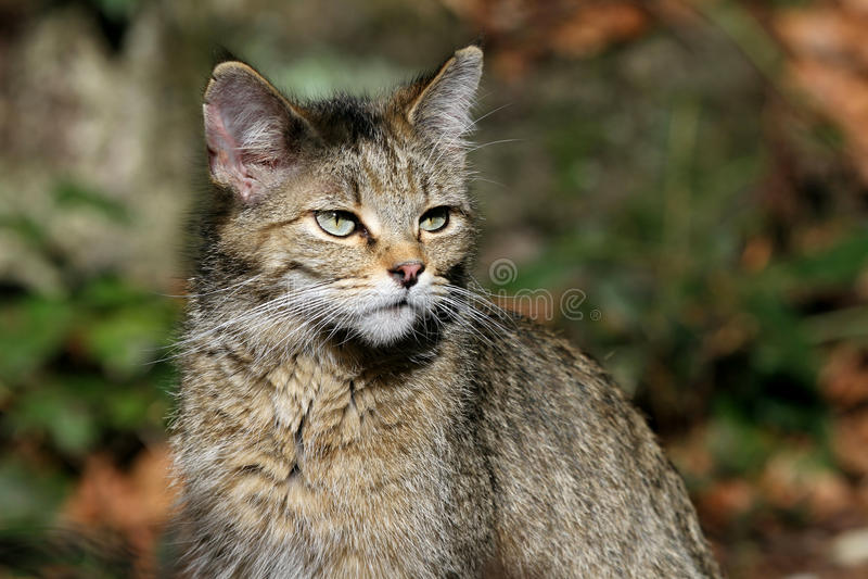 Europese wilde kat royalty-vrije stock fotografie