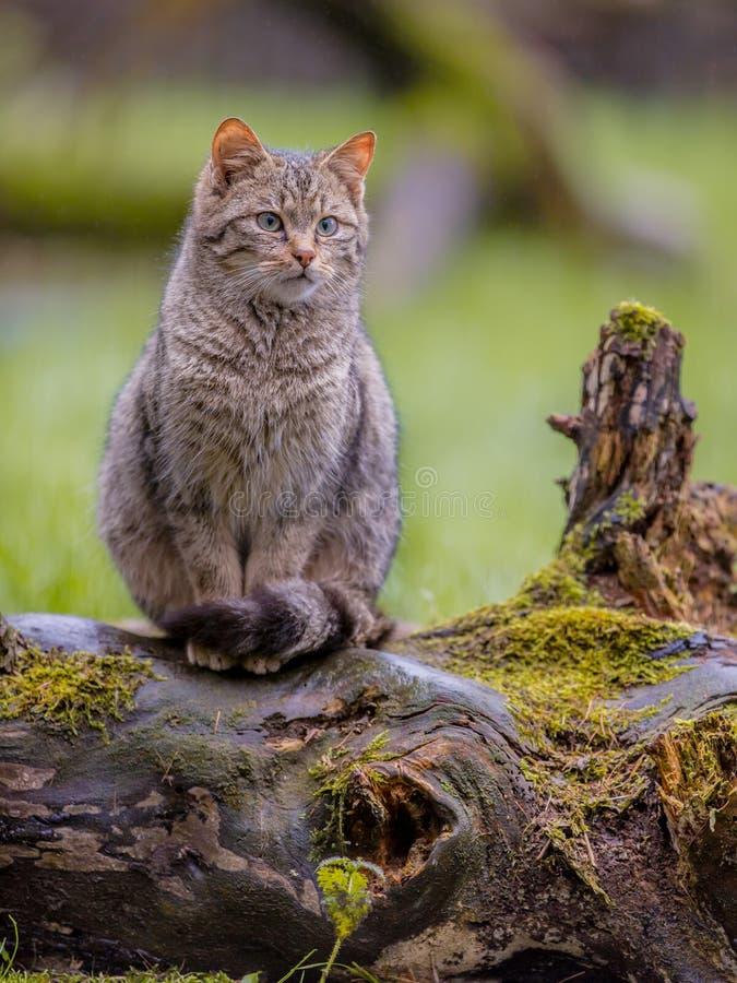 Europese wilde kat met distictive staart royalty-vrije stock afbeeldingen
