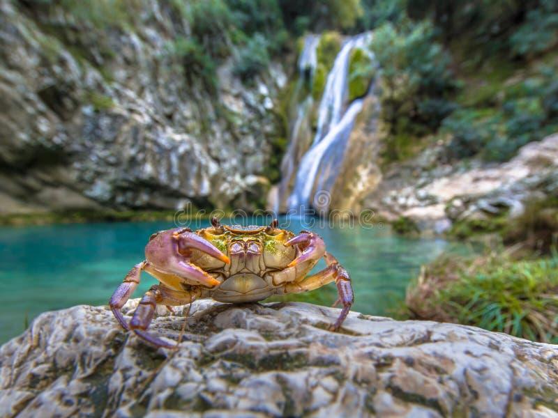 Europese zoetwaterkrab in habitat royalty-vrije stock fotografie