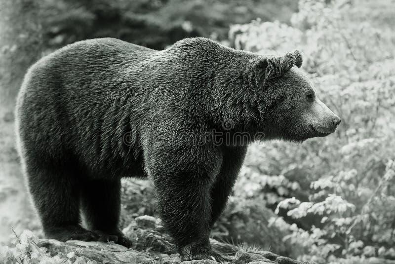 Europeu Brown do urso imagem de stock