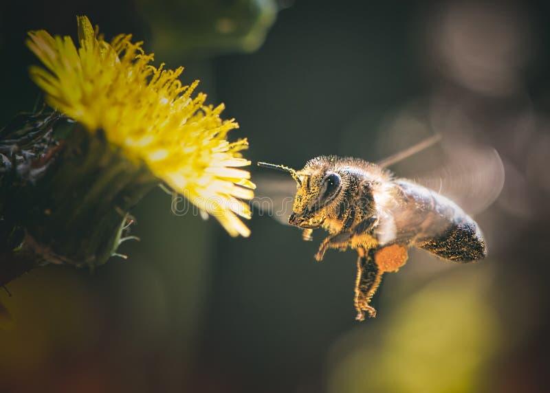 Europeu Honey Bee Apis Mellifera que recolhe o pólen fotos de stock royalty free