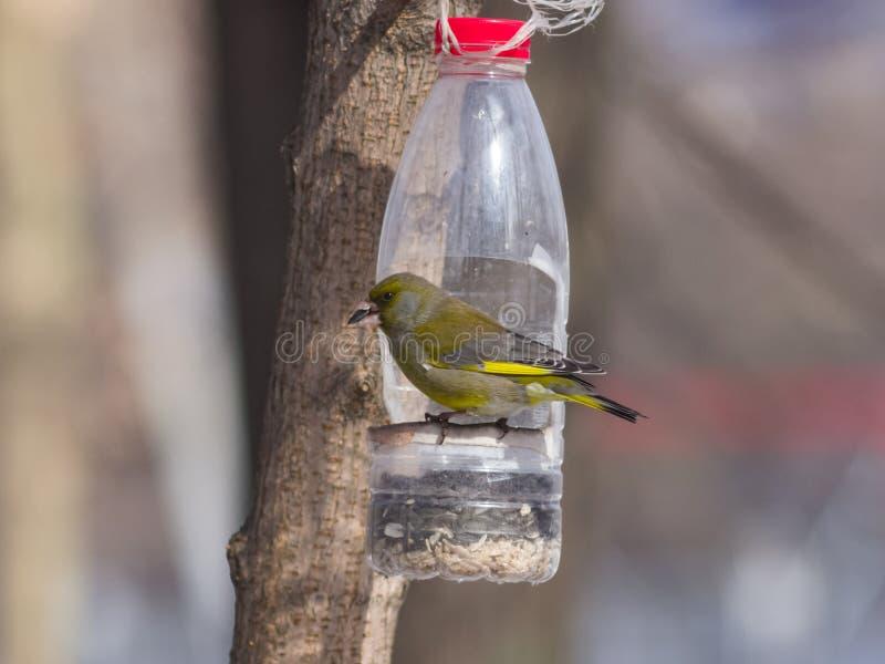 Europeu masculino Greenfinch, chloris do Carduelis, retrato do close-up no alimentador do pássaro feito da garrafa plástica fotos de stock