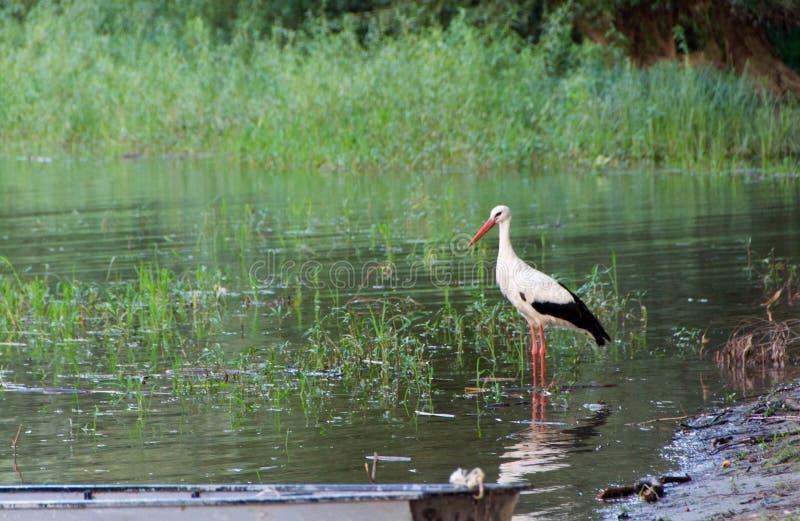 Europian white stork stock image