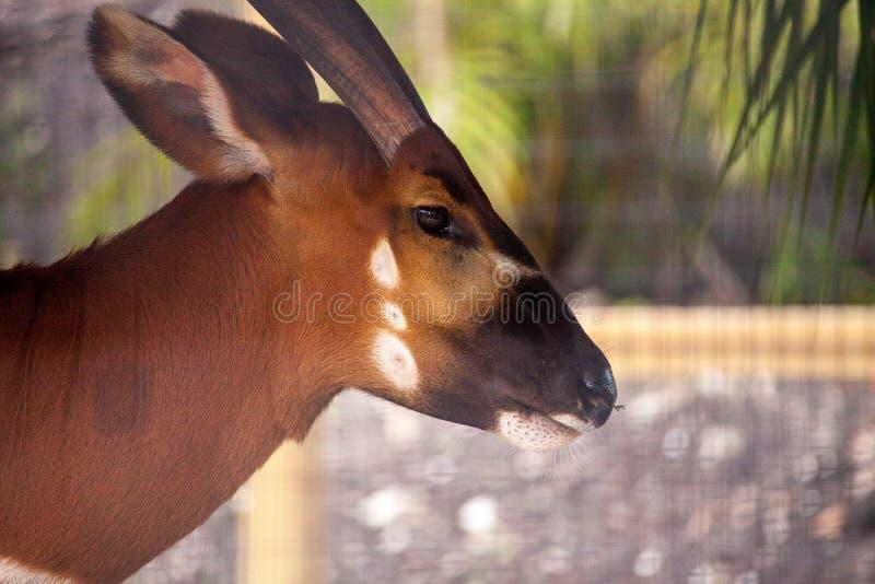 Eurycerus del Tragelaphus del antílope del bongo de la montaña imágenes de archivo libres de regalías