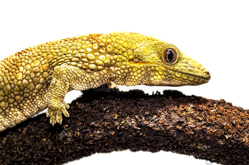 Eurydactylodes agricolae/Bauers kameleontgecko royaltyfria foton