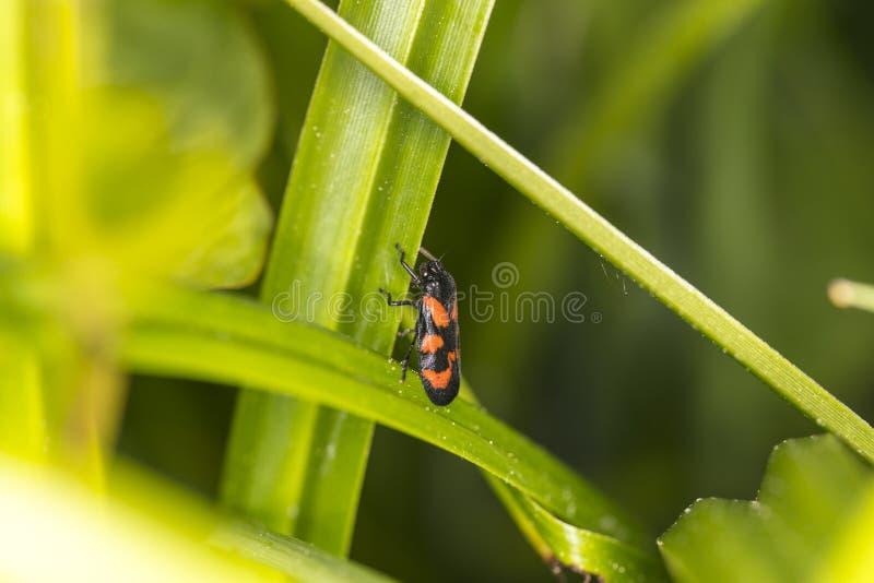 Eurydemaornata, insect van penataomideafamilie stock afbeeldingen