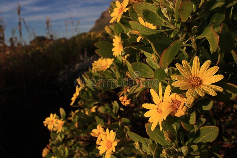 Euryops jaune en automne image stock