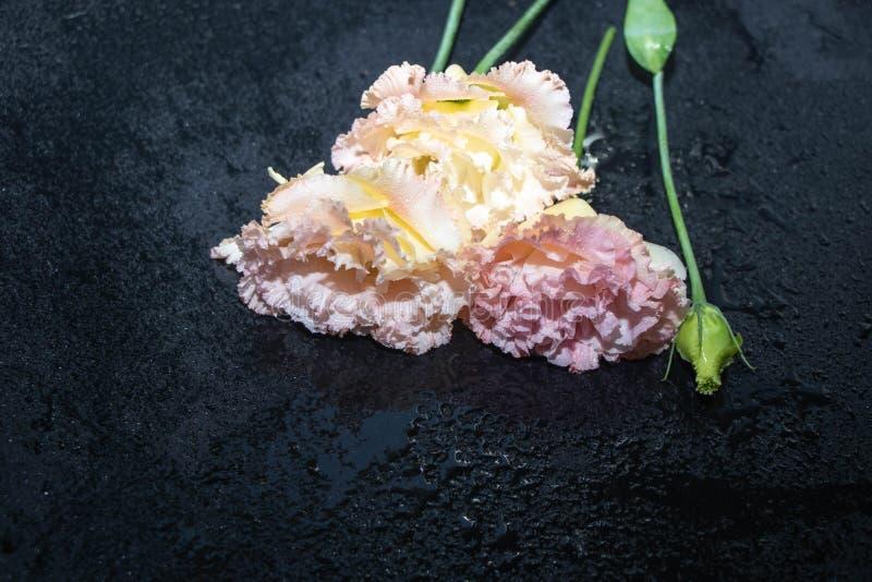 Eustoma цветков, китайские розы красивые, чувствительные цвета стоковое фото