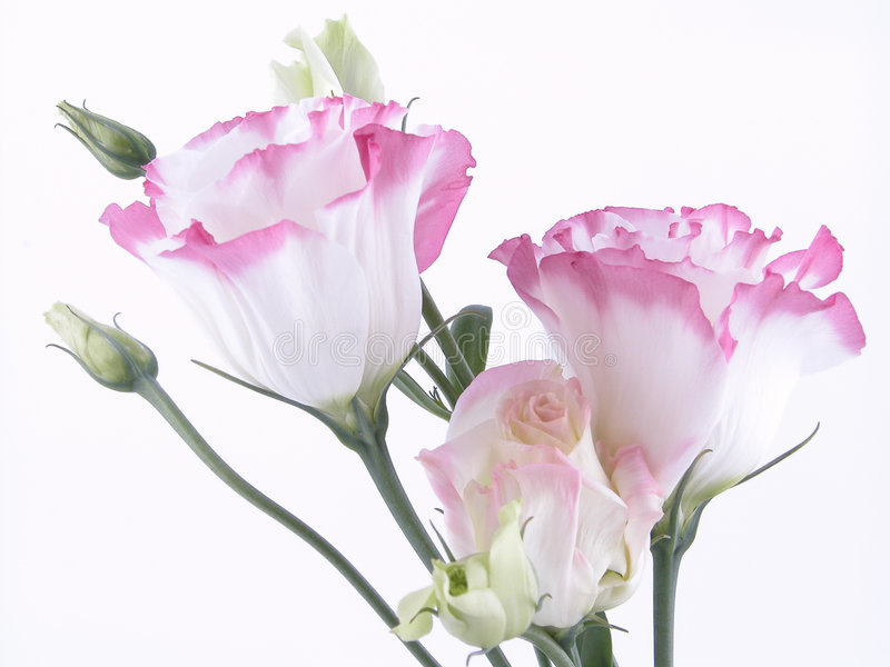 Eustoma images stock