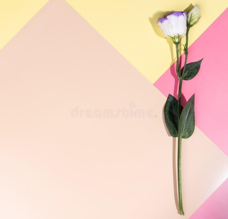 Eustoma bianco sui precedenti multicolori Vista piana fotografia stock libera da diritti