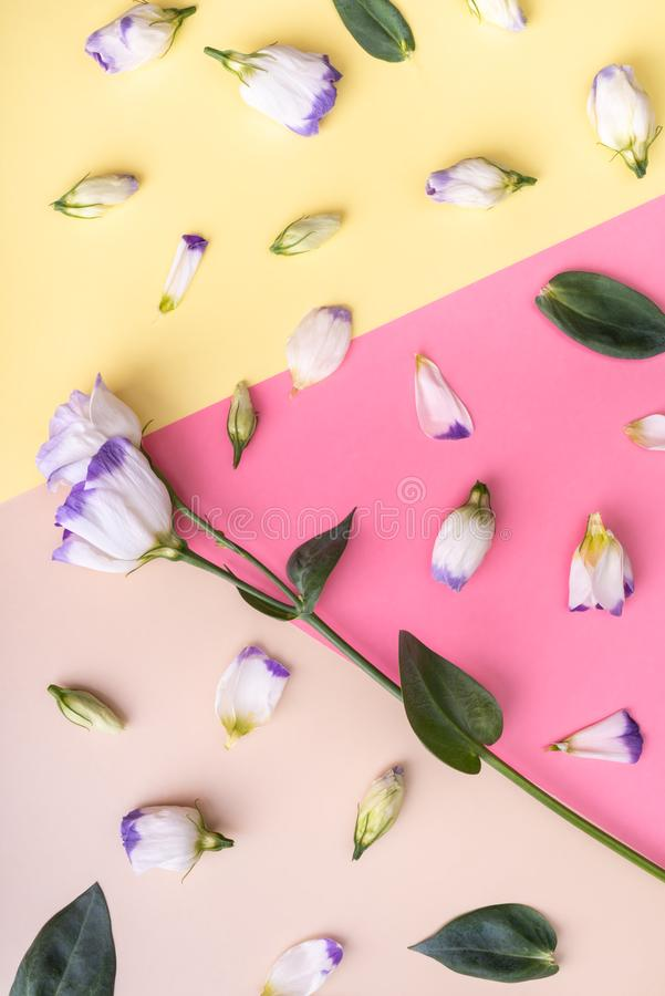 Eustoma branco no fundo multicolour Vista lisa fotografia de stock royalty free