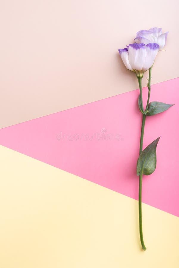Eustoma branco no fundo multicolour Vista lisa imagens de stock royalty free