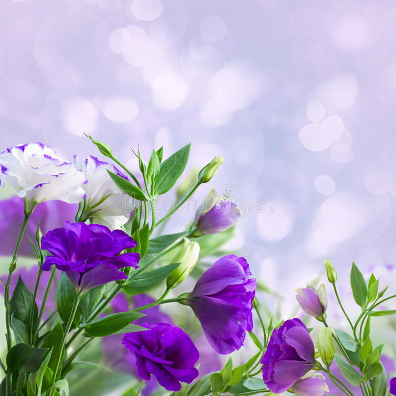 Eustoma flowers on blue. Purple eustoma flowers on blue bokeh background stock photo