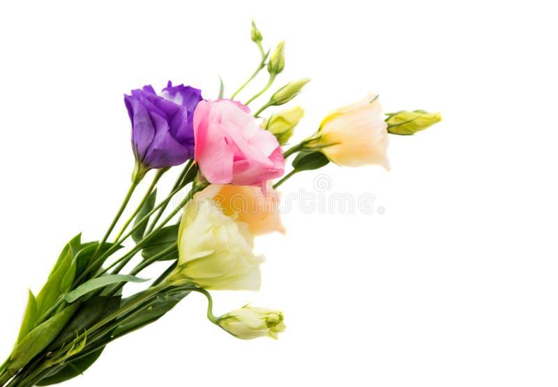 Download Eustoma kwiat obraz stock. Obraz złożonej z odosobniony - 57661881
