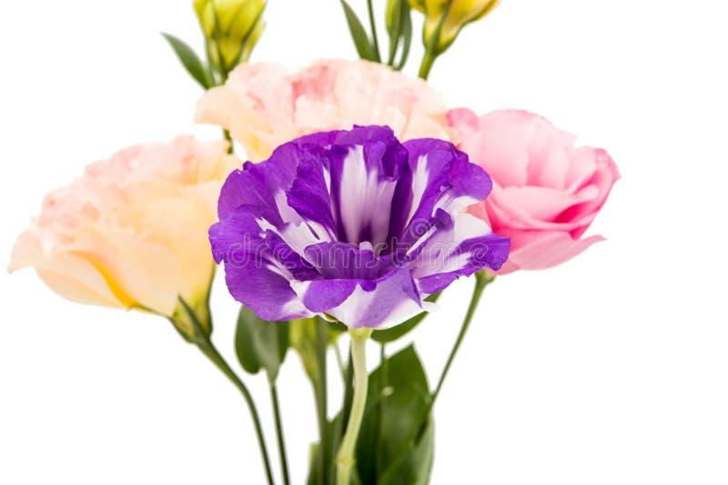 Download Eustoma kwiat zdjęcie stock. Obraz złożonej z piękno - 57662360