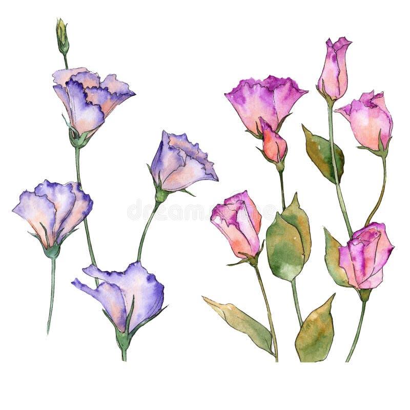 Eustoma rosa e porpora Fiore botanico floreale Wildflower selvatico della foglia della molla isolato royalty illustrazione gratis