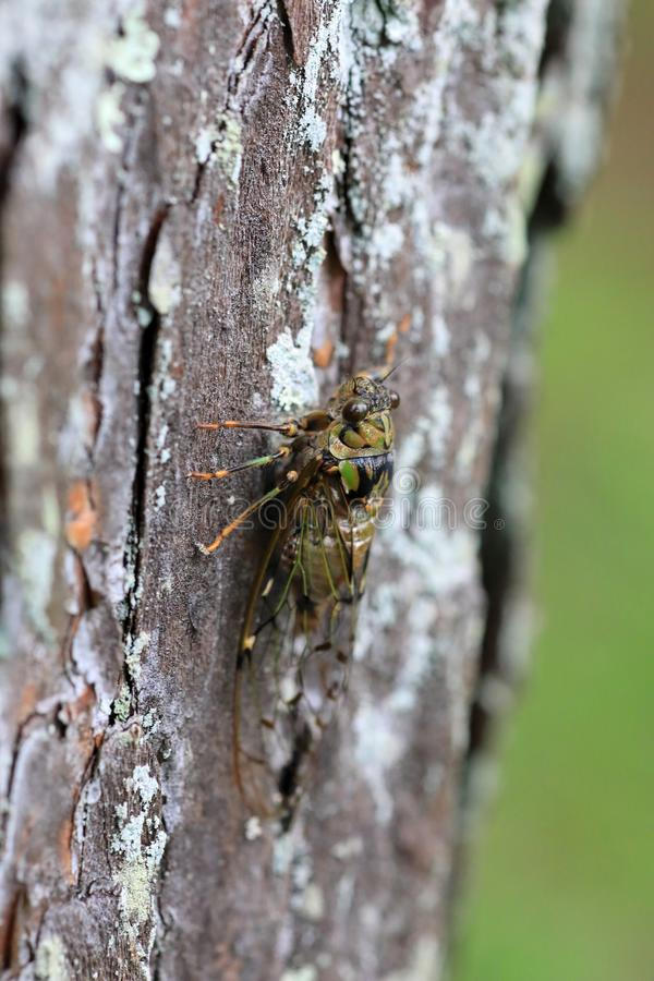 Euterpnosia chibensis cicada στην Ιαπωνία στοκ εικόνες
