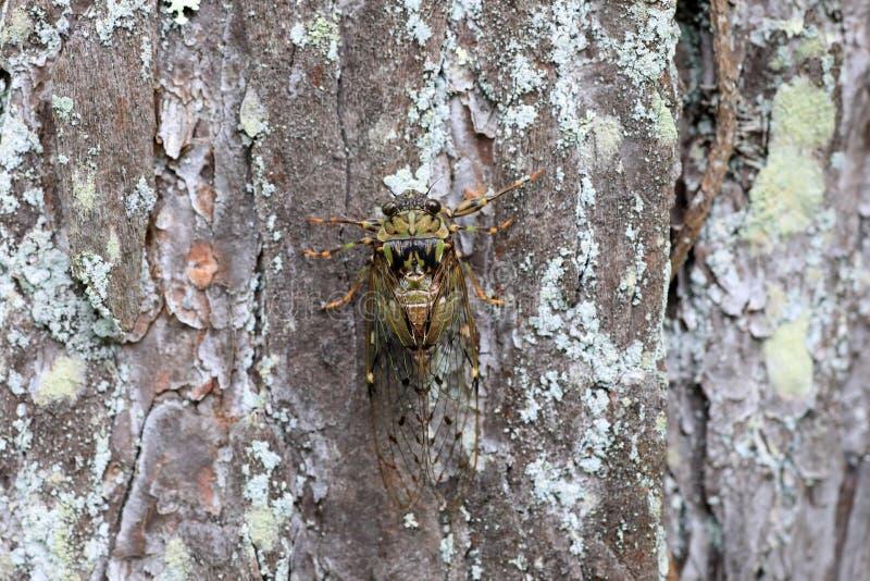 Euterpnosia chibensis cicada στην Ιαπωνία στοκ φωτογραφίες με δικαίωμα ελεύθερης χρήσης
