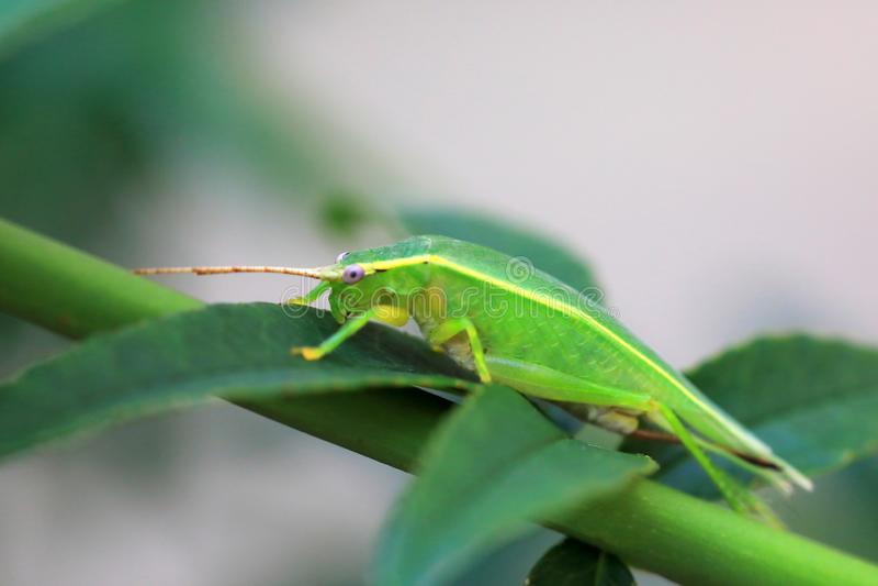 Euterpnosia chibensis cicada στην Ιαπωνία στοκ φωτογραφία με δικαίωμα ελεύθερης χρήσης