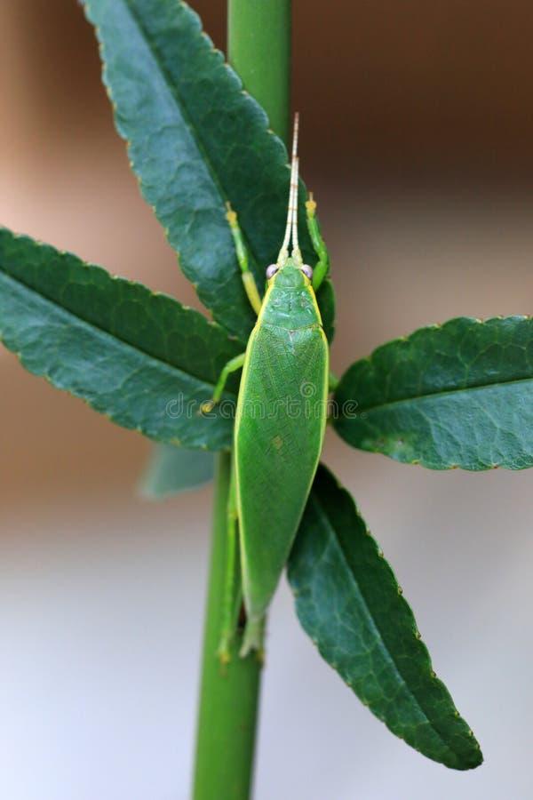 Euterpnosia chibensis cicada στην Ιαπωνία στοκ φωτογραφίες