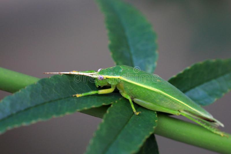 Euterpnosia chibensis cicada in Japan stock photo