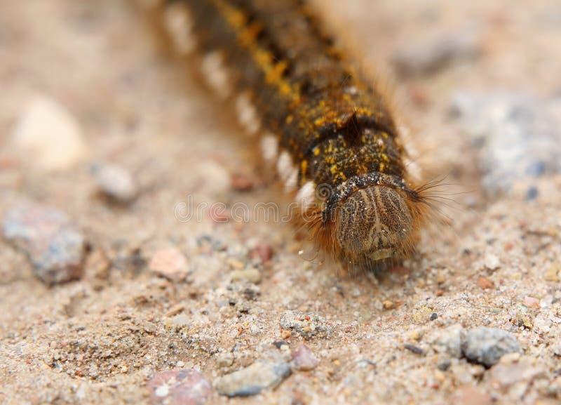 Euthrix Potatoria Caterpillar dalla parte anteriore immagini stock libere da diritti