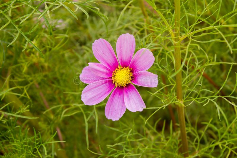 Even alone is also beautiful. This is a photo if a flower that was captured in Tianjin daxue stock photo