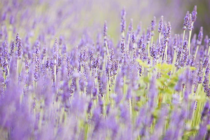 Evening światło nad purpurowymi kwiatami lawenda Fiołkowi krzaki przy centrum obrazek Lawendowy krzaka zbliżenie dalej zdjęcia royalty free