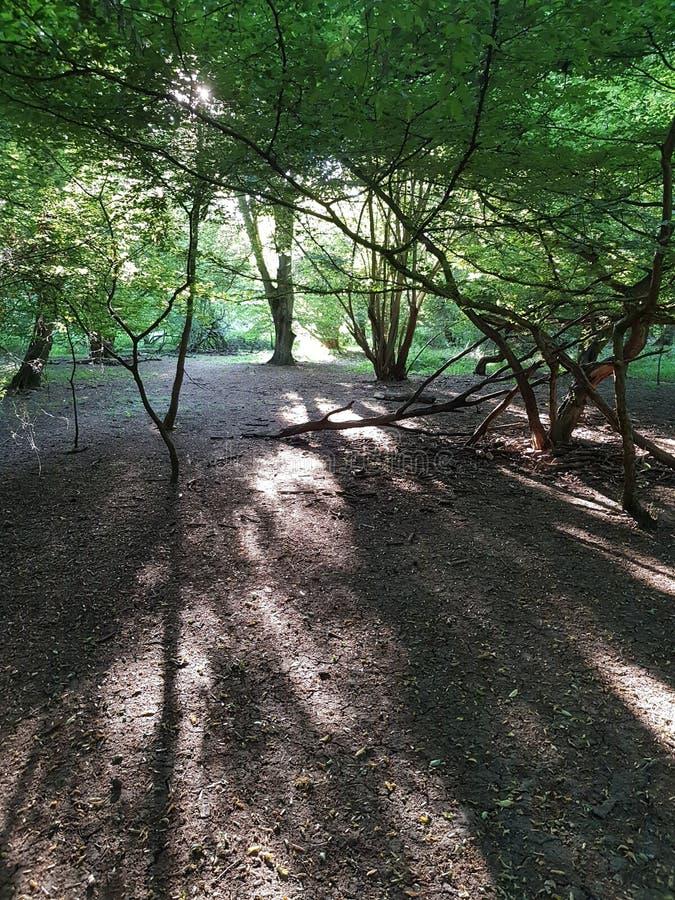 Evening światło przez drzew w Hatfield lesie obraz royalty free