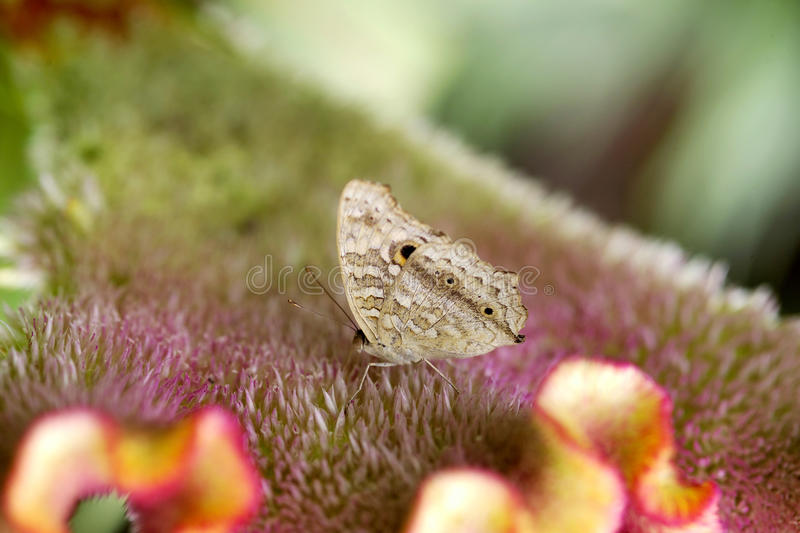 Evening Brown Butterfly royalty free stock image
