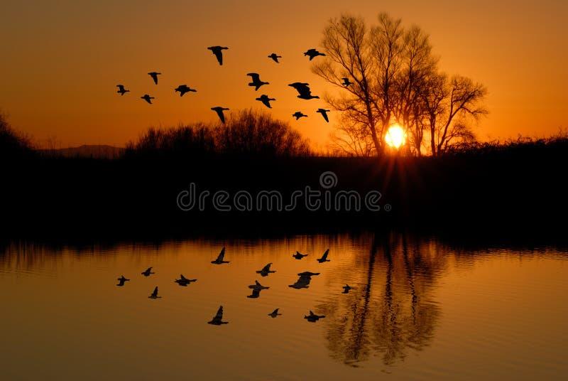 Evening Ducks royalty free stock photos