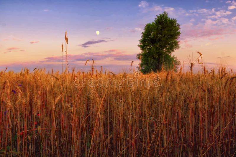 Download Evening field stock photo. Image of growth, botanical - 22677440